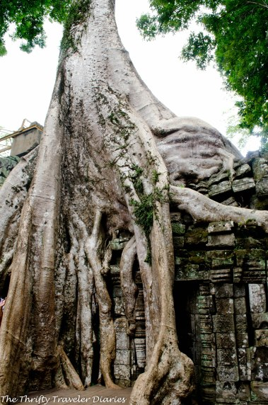 The roots of old trees have ruined some of the temples