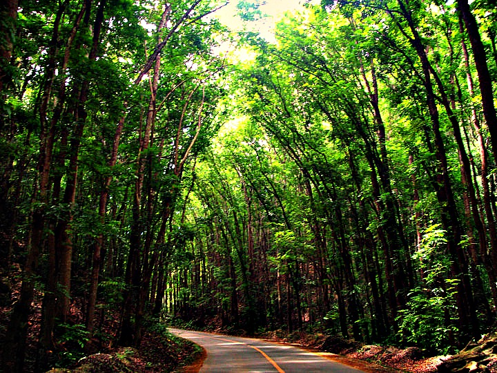 Manmade Forest, Bohol
